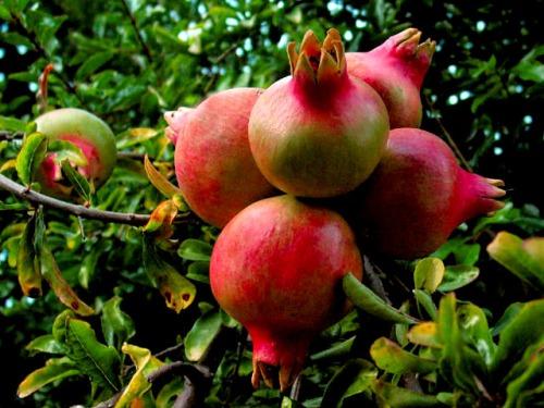pomegranate on a tree