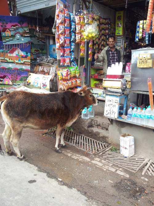cow shopping
